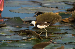 Bird Standing on lotus leaf. Pheasant-tailed Jacana, Hydrophasianus chirurgus, beautiful bird Standing on lotus leaf Royalty Free Stock Images