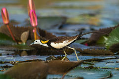 Bird Standing on lotus leaf. Pheasant-tailed Jacana, Hydrophasianus chirurgus, beautiful bird Standing on lotus leaf Stock Photos