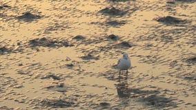 Bird standing on mudflats stock video