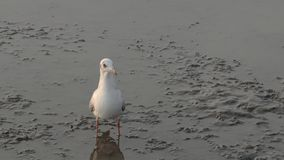 Bird standing on mudflats stock video footage