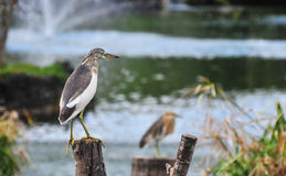 Bird standing over a wood in the lake. A grey and white bird standing over a wood in the lake, waiting for catching a fish Stock Photos