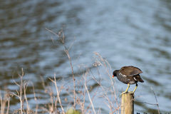 Bird standing on a post Stock Photography