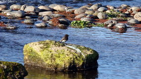 Bird Standing On Rock In American River Sacramento stock footage