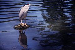 Bird standing on small island on the lake.  Royalty Free Stock Photography