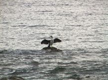 Bird raising its wings among sea royalty free stock image