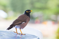 Bird standing on table,  Mynah , Gracula religiosa bird Stock Images