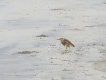 The bird stands  on the beach of Morjim in Northern Goa. India stock photo