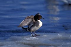 Bird stands on ice Stock Photography