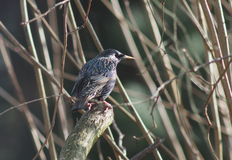 Bird starling Stock Images