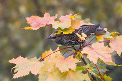 Bird Starling among maple leaves in autumn Stock Photography
