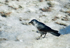 Bird Starling on melting dirty snow Royalty Free Stock Image