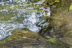 Bird stationed over a stone through which water is flowing Stock Photography