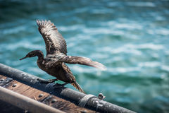 Bird on Stearns Wharf Royalty Free Stock Image