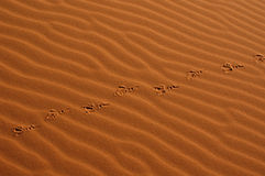 Bird Steps in the Sahara Desert. Bird steps in the sand dunes of Erg Chebbi in the Sahara Desert near Merzouga, Morocco Royalty Free Stock Photography