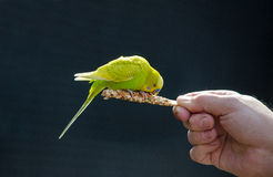 Bird on a stick eating food Stock Images
