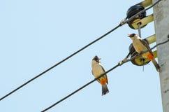 Bird still on electric line Royalty Free Stock Photos
