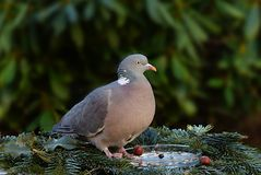 Bird, Stock Dove, Pigeons And Doves, Fauna Royalty Free Stock Images