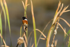 Bird Stonechat Wetland Reeds Wildlife Royalty Free Stock Photo