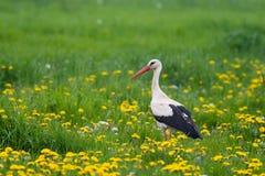 Bird- stork Stock Photo