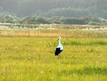 Bird Stork walking through pasture. Hot Summer. The stork went out to lunch at the pasture. Grass burns in the sun. The meadow is overgrown with grass and Stock Photo