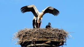 Bird, Stork, White Stork, Sky royalty free stock photography