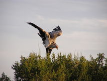 Bird stretching wings. Secretary bird stretching its wings for takeoff, taken in Kruger National Park in South Africa Stock Images