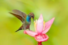 Free Bird Sucking Nectar From Pink Bloom. Hummingbird With Flower. White-tailed Hillstar, Urochroa Bougueri, Hummingbird In Nature On P Stock Photo - 113788880