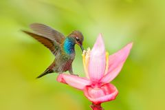 Bird sucking nectar from pink bloom. Hummingbird with flower. White-tailed Hillstar, Urochroa bougueri, hummingbird in nature on p. Ing flower, gren and yellow Stock Photo