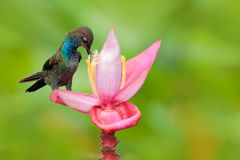 Bird sucking nectar from pink bloom. White-tailed Hillstar, Urochroa bougueri, hummingbird in flight on the ping flower, gren and Royalty Free Stock Photos