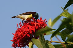 Bird sucking on nectar from red flowers. This pictures shows a small, beautiful bird, sucking honey/nectar from the bright red colored flowers, with background royalty free stock images