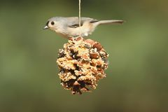 Bird On A Suet Feeder. Tufted Titmouse (baeolophus bicolor) on a suet feeder pine cone Royalty Free Stock Photos