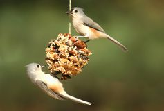 Bird On A Suet Feeder. Tufted Titmouse (baeolophus bicolor) on a suet feeder pine cone Royalty Free Stock Images