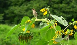 Bird and sunflower. The bird on the sunflower Royalty Free Stock Photography