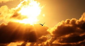 Bird in sunrise rays. Seagull silhouette against orange background of rising sun rays Royalty Free Stock Photography