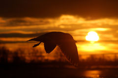 Bird at the sunset. Bird flying at the epic sunset royalty free stock images