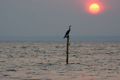 Bird at sunset. The Oriental Darter or Snakebird has a long neck and straight bill. It is mostly found in the backwaters of South Asia and Southeast Asia. It Stock Photo