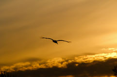 Bird at sunset sky. Alone stork at dramatic sunset sky royalty free stock photo