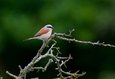 Red-backed shrike in a closeup on the west coast in Sweden royalty free stock images
