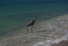 Bird in surf on beach. A view of a large bird walking in surging surf on a Florida beach Stock Images