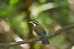 The bird surveillance danger in wild. White-browed Scimitar-Babbler;The wild bird surveillance in dangerous living in the evergreen forest, bamboo forest, rare Royalty Free Stock Images