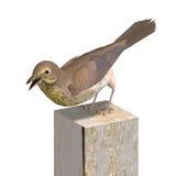 Bird Swainson's Thrush Stock Photography