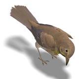 Bird Swainson's Thrush Royalty Free Stock Photography
