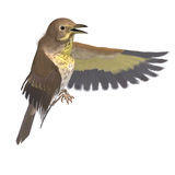 Bird Swainson's Thrush. 3D rendering with Royalty Free Stock Image