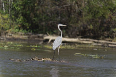 Bird in the swamp Stock Photography