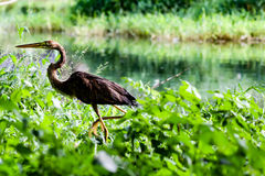 Bird in the swamp. The bird is looking for a food royalty free stock photo