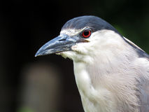 Bird of the swamp.Nycticorax nycticorax Royalty Free Stock Photography