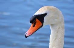 Bird, Swan, Beak, Water Bird royalty free stock image