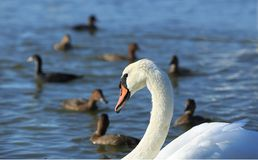 Bird swan Royalty Free Stock Photography
