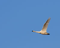 Bird swan in flight and blue sky stock photos