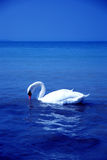 Bird swan Lake Stock Photo